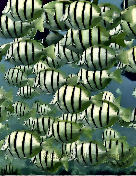 fish convict tangs 1