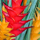 Heliconia-in-Chinatown